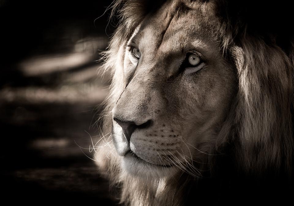 fbc8fa61d5 Considerado como el 'rey' de los animales terrestres por casi todas las  culturas, el león es símbolo de protección y calma, además de fuerza y  coraje.