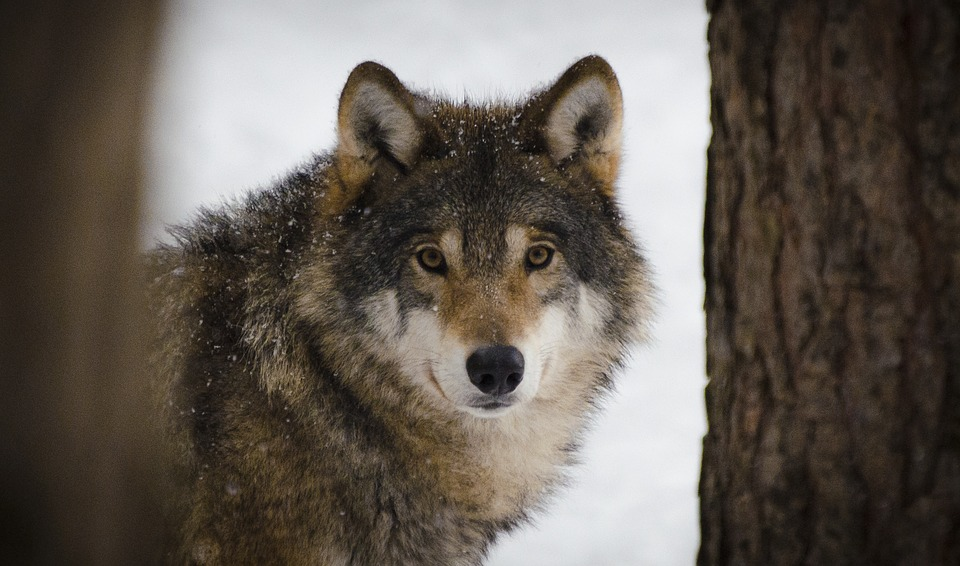 5c09a1645c El lobo es probablemente uno de los animales salvajes más incomprendidos.  Aunque son muchos los cuentos y leyendas que lo representan como un animal  de ...